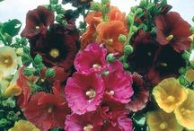 Hollyhocks/stokrozen