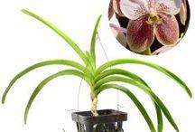 Vanda / Semua tanaman dalam board ini bisa dikirim keseluruh Indonesia, silahkan order ya, tel: 0341-599399 I SMS center: 08569020300 atau kunjungi website kami www.kebunbibit.id