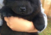 puppy like bear