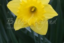 Spring Flowering Bulbs - Daffodils  / Along with tulips and hyacinths, daffodils are the most famous and popular spring bulbs. You can choose from different colours, heights, and flower types. Blooming daffodils give you a real spring feeling.