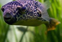 Pufferfish ::: Blowfish ::: Kogelvis :::