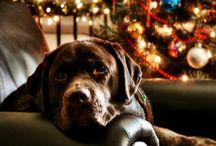 chiens labrador et golden / chiens