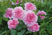 Roses I Want