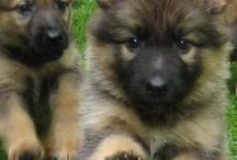 German Shephard puppies / German Shepards