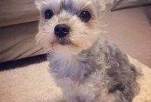 My dog RALPH / ヨーキーとマルチーズのミックス犬。