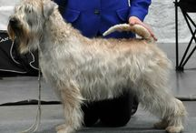 Soft-coated Wheaten Terrier / Soft-coated Wheaten Terrier photos