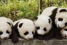 Minik pandalara merhaba / Pan da lar
