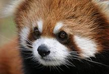 A - Animals / Red Panda
