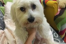 Orestis / Maltese, baby, boy, love dog.. Our cuteness..