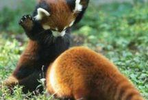Schatich / Panda beertjes
