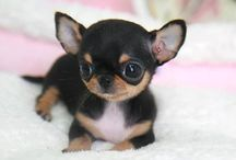 los perritos chihuahuas mas hermosos