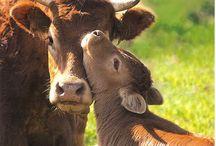 Koeien/ Cows