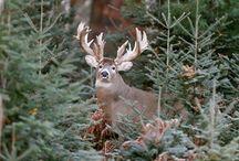 Live Deer