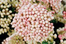 Rice Flower - Ozothamnus diosmifolius (Helichrysum diosmifolium)