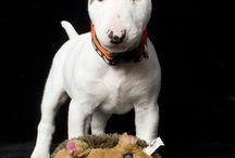 Bull terriers miniature