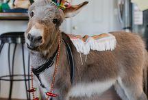 zonkeys donkeys zebras
