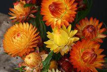 Helichrysum paper flowers