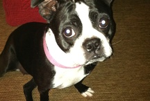 Crazy about Boston Terriers!!! / by Angel Lee