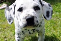 Dalmatian puppies are the cutest puppiesn / by Melissa Cary
