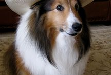 Shelties / by Tammy Tucker