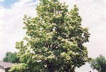 Moms Tree