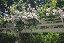 Pergola roses