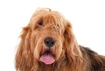 Otterhound / The Otterhound, a scent hound, is unique among hounds because of his rough, double coat and substantial webbed feet. He uses these features to hunt on both land and water. With his large, strong body and inquisitive nose, the Otterhound is willing to work all day. The coat may be any color or combination of colors.