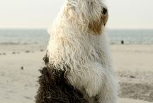 Old English Sheepdog / by Marcia Blaustein