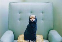 Cute Dogs :: Chihuahua
