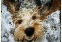 Grand basset griffon vendeen in action / Puppy running
