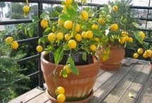 limonero en maceta (meyer)