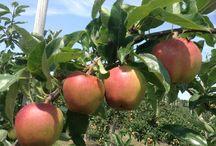 BLACKBIRD FARM APPLES / Apples growing on the farm
