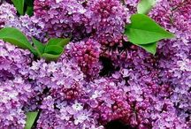 FLOWERS _ LILAC