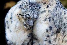 leopard ♥♦♪♫
