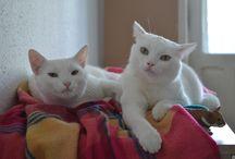 My pretty white cats