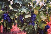 VENDIMIA 2015 / Después de una estricta selección de parcelas, las uvas han sido vendimiadas durante las horas más frescas de la mañana para evitar oxidaciones.