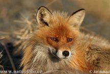 foxes / by Tiffany Brommerich Kotz