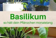 Basilikumpfl. pflegen