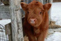 My cow love!