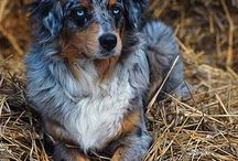 Australian Shepherd / Aussie