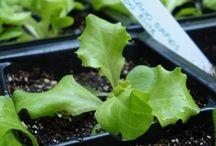 Gardens: Vegetables