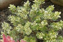Piante - fiori (giardino)