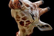 Giraffes... / by Monique Bonfiglio Doughty