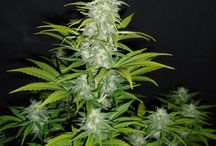 Strain: Sour Lemon / Sour Lemon is autoflowering cannabis strain from breeder N.W. Second generation medical cross. Med-Large size plants. Noted medical effects: Good for muscular aches and pains, pain relief last up to 90mins. Also great as a general mood changer. Aroma/Taste: Floral; Lemony; Peach; Skunk