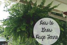 Lush healthy ferns
