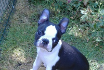 Boston Terriers rule!! / by Christine Morelli