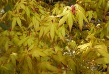 Amazing Acers / Spring brings the emergence of all those lovely Acer palmatum types.  Totally vibrant