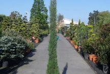 Cipres itiaans direct plant