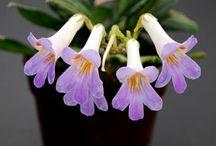 Asian Violet Plants