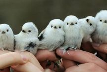 Little Fat Birds